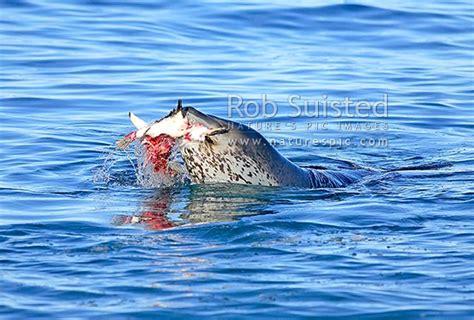 leopard seal hydrurga leptonyx killing  eating