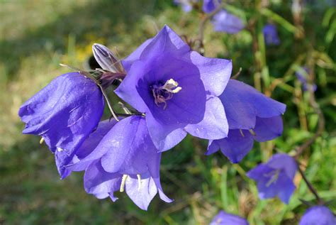 bellflower plant canula persicifolia wikipedia