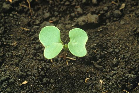 what is a cotyledon cotyledon coleoptile seed leaf