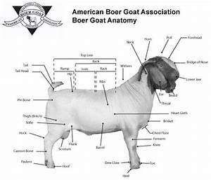 Boer Goat Anatomy