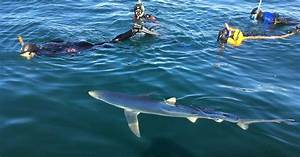 Up to 20 blue sharks spotted off Cornwall coast and people ...
