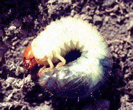 grub worms turn into june bugs all about lawn grubs