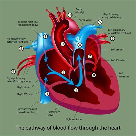 cartoons   cardiovascular system  cardio