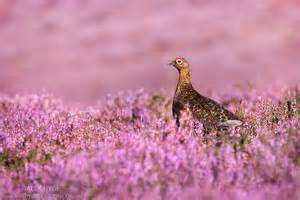 discount flowers grouse lagopus lagopus scoticus alex hyde