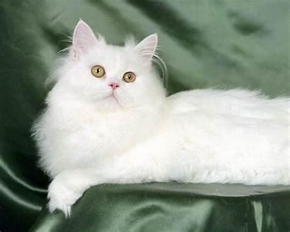 Cats Cat Kittens Backgrounds Wallpapers Kitten Persian