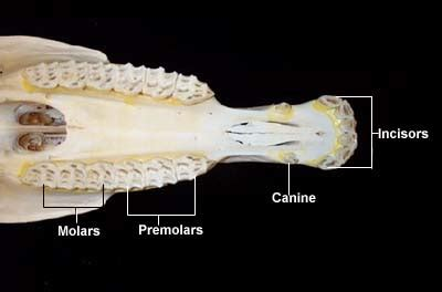 Diagram Of Right Rear Molar by You Are Your Teeth The Reluctant Archaeologist