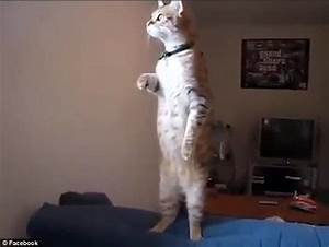 Cat stands up like a human to stare out of his living room ...