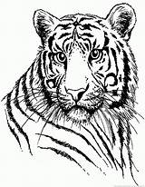 Tiger Part Coloring sketch template