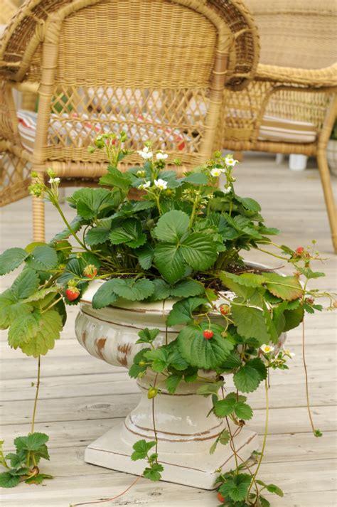 schnell rankende pflanzen schnell rankende pflanzen textiler wind und sichtschutz tipps und tricks f r haus und garten