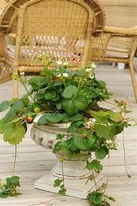 Schnell Rankende Pflanzen : rankende erdbeeren diese sorten bilden ranken ~ Frokenaadalensverden.com Haus und Dekorationen