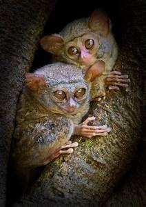 tarsier pair by harprit singh on 500px tarsier animals