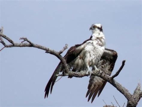 good news for birds of prey bird canada
