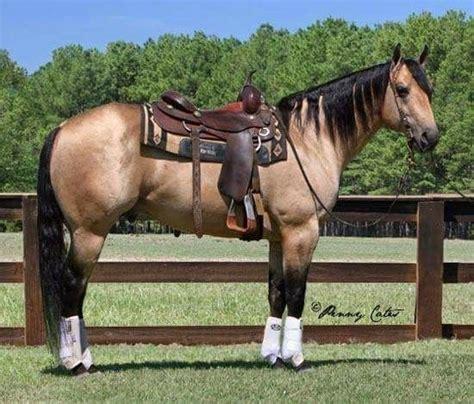 horse horses buckskin quarter american ranch dun penncross stallion pretty reining gun cats stallions miss studs baby bay