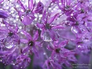 Water droplets on purple flowers