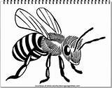 Bee Coloring Pages Realistic Adults Animal Printable Bees Animals Drawing sketch template