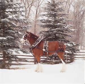 Clydesdale Horses Budweiser