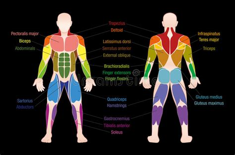 If you own one of the originals, click here to find out if you're whether you use pencil and paper, paintbrushes, clay, or any form of digital art software, our figures will be invaluable if you want to understand the form and structure of human anatomy. Muscle Chart Male Body Colored Muscles Stock Vector - Illustration of exercise, frontal: 91672522