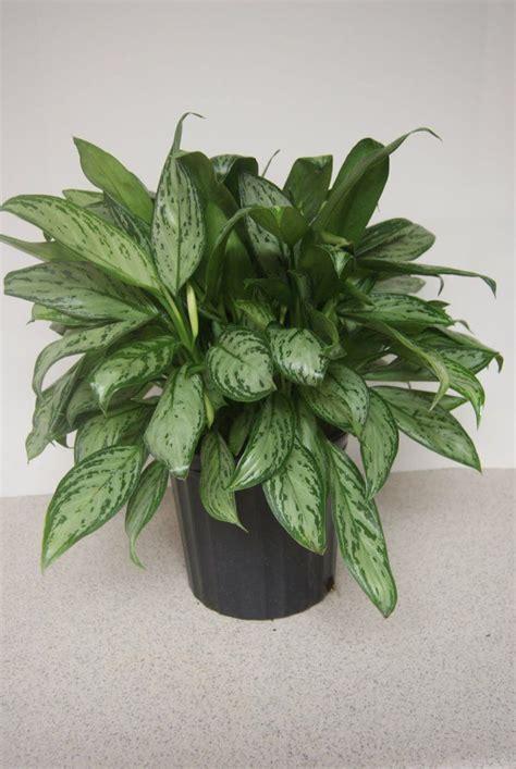 10 schattenpflanzen f 252 r die dunkelsten ecken zu hause