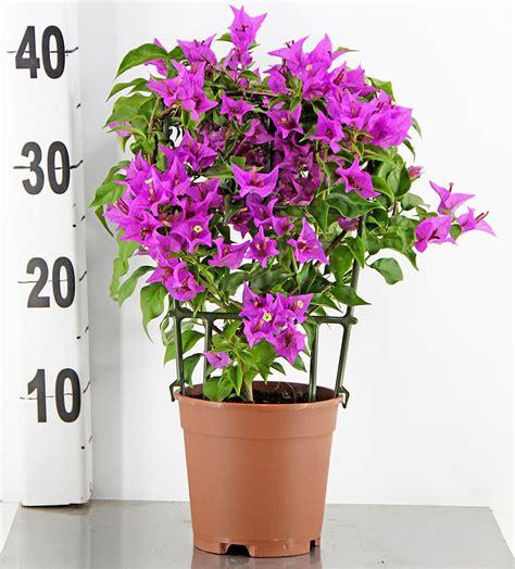 mediterranean plants bougainvillea