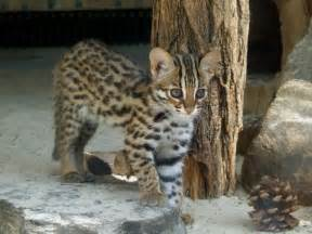 leopard cat asian leopard cat kitten kitty