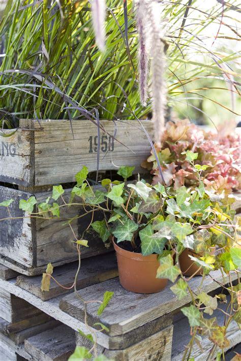 growing swedish ivy