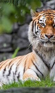 Siberian Tiger 4K Wallpapers - Wallpaper Cave
