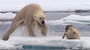 Hungry Polar Bear Ambushes Seal | The Hunt | BBC Earth ...