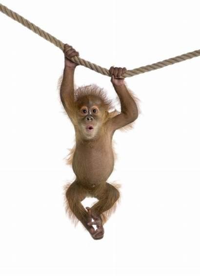 Monkey Transparent Pngio
