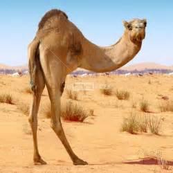 Pics Photos - Camel Picture Camel Facts Wallpaper