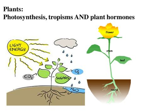 Plants, Photosynthesis, Tropisms And Plant Hormones Ks3 And Gcse, Presentation And Activities