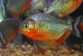 Baby Red Belly Piranha...