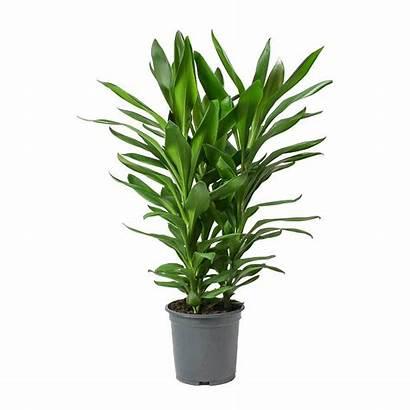 Plant Cordyline Glauca Fruticosa Ti Plants Indoor