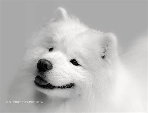 character the british samoyed club