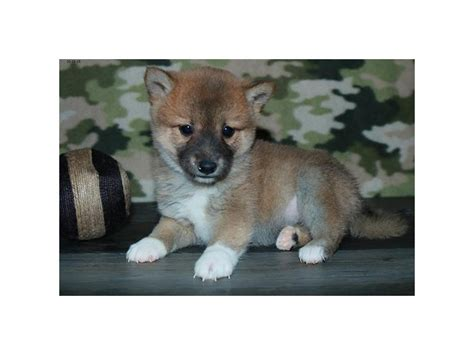 Most shiba inu have curled tails, but the dog may have a less common tail type called a sickle tail. Shiba Inu-DOG-Female-Red-2524986-Petland Racine, WI