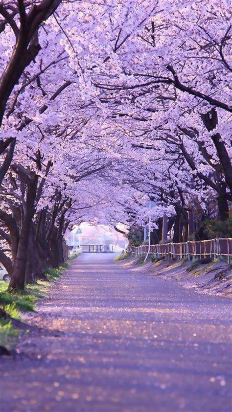 japanese cherry blossom wallpaper  images