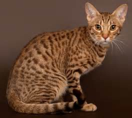 spotted cats different types of tabby