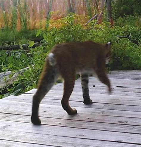 Medway: Neighborhood bobcat appears on camera - News ...