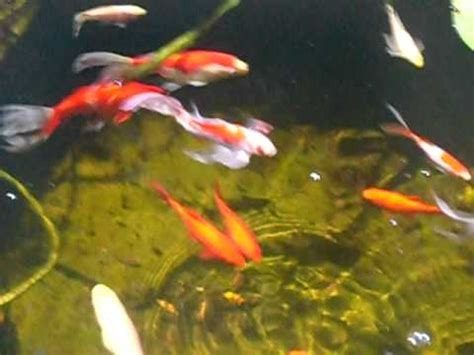 Comet Goldfish Pond