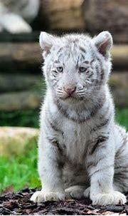 cute-dangerous: White tiger | Wild cats, Wildlife wallpaper