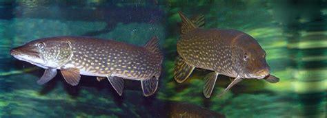 lucio esox lucius peces naturegate