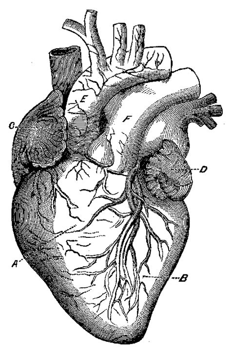 anatomical-heart | Tattoo Ideas | Anatomical heart, Heart diagram, Heart anatomy
