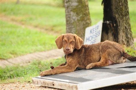 47 best images about chesapeake bay retriever on pinterest