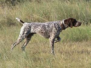 German Shorthaired Pointer Wallpaper 32184 1600x1200 px ...