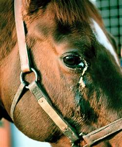 Nasolacrimal duct: obstruction - acquired in horses - Vetlexicon Equis from Vetstream ... Nose and Paranasal Sinuses