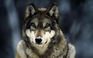 Photography NATURE WORLD PEOPLE BEAUTY: Beautiful Wolf