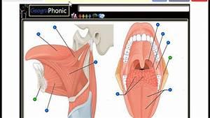 Tongue Muscles  Genioglossus  Hyoglossus  Valate Papilla