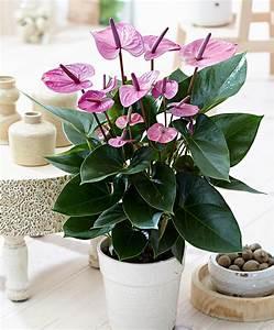 Anthurie Im Wasser : kaufen sie jetzt zimmerpflanze anthurie 39 cavalli 39 ~ Yasmunasinghe.com Haus und Dekorationen
