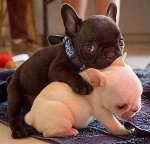 Baby Frenchies Pictures, Photos, and Images for Facebook ...