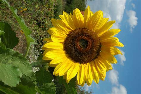 die sonnenblume bgbm