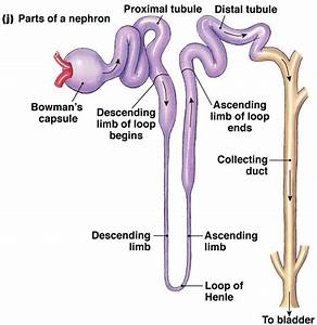 Easy Steps To Draw Nephron  Class 10 Ncert  Write Down Each Step With Hand Drawn Labelled
